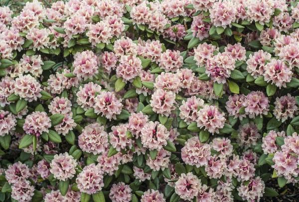 Plant rhododendron om efteråret