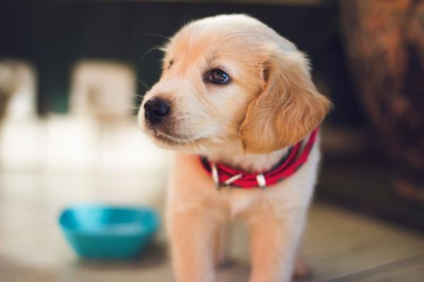 Har du overvejet en hundehvalp? Se om du overhovedet er klar til hund