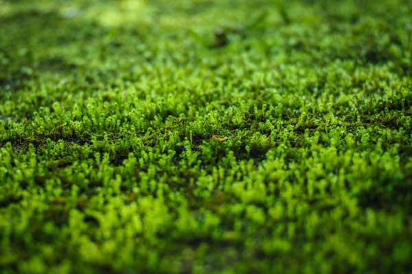 Sådan bekæmper du mos i græsplænen