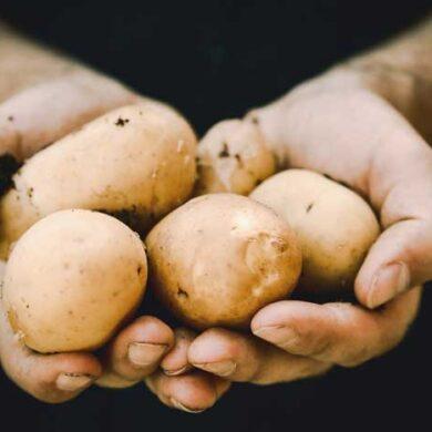 Du kan forspire kartofler og nyde de tidligste kartofler allerede i juni.