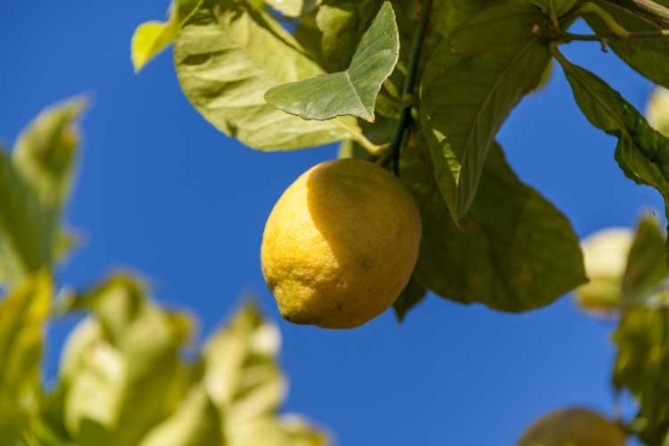 Sådan får du succes med citrontræ