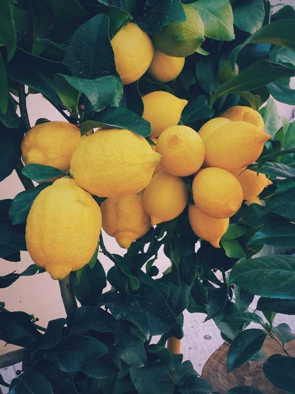 klynge af gule citroner