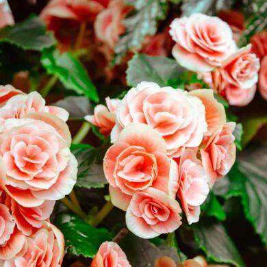 Sådan passer du rosenbedet i marts