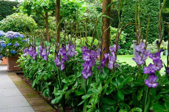 Årets sommerløg - gladiolus. Her i farven lilla.
