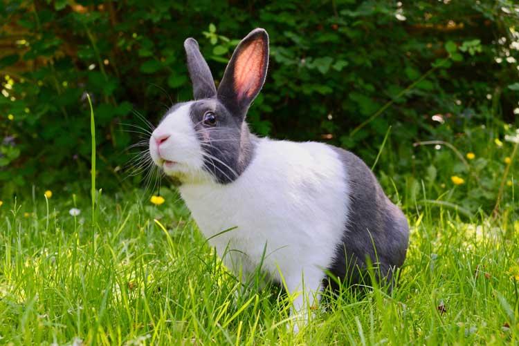 Vælger du hamster, marsvin eller kanin?