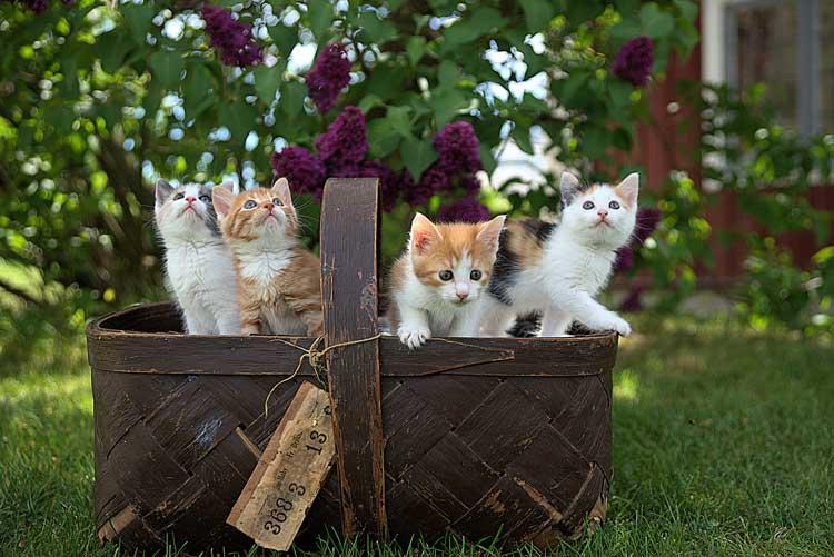 vil du undgå kattekillinger når hunkatten er i løbetid