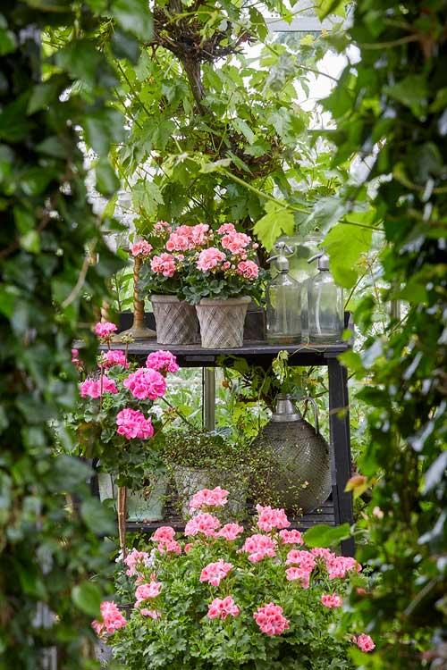 pelargonie er smuk i haven, på terrassen eller på altanen