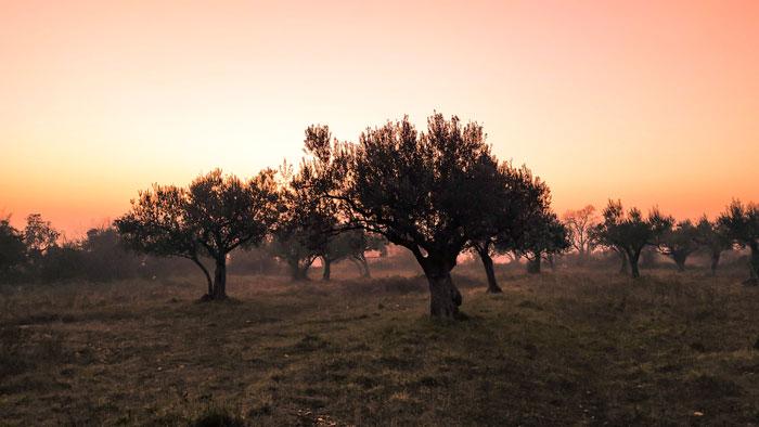 Oliventræer kan nemt overvintre i Danmark med den rette pasning.